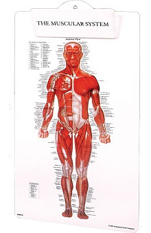 Anatomical Chart Company Muscle Man Clipboard