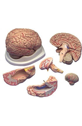 Anatomical Chart Company Budget Brain with Arteries Anatomical Model