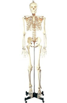 Anatomical Chart Company Budget Life-Size Skeleton Anatomical Model