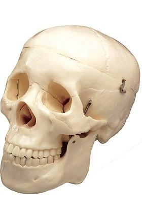 Anatomical Chart Company Basic Skull Anatomical Model