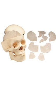 Anatomical Chart Company Basic Skull with 8-Part Brain Anatomical Model