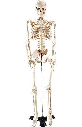 Anatomical Chart Company Table-Size Skeleton Anatomical Model