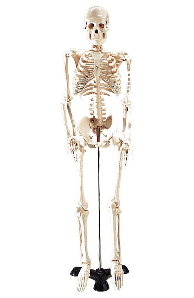 anatomical chart company table-size skeleton anatomical model, Skeleton