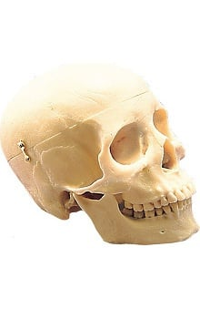 Anatomical Chart Company 3-Part Human Plastic Skull