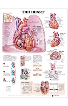 Anatomical Chart Company The Heart Anatomical Chart