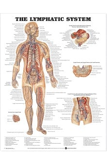 Anatomical Chart Company The Lymphatic System Anatomical Chart