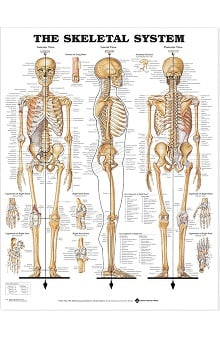 Anatomical Chart Company The Skeletal System Anatomical Chart