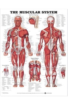 Anatomical Chart Company The Muscular System Anatomical Chart