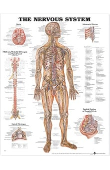 Anatomical Chart Company The Nervous System Anatomical Chart