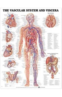 Anatomical Chart Company The Vascular System And Viscera Anatomical Chart