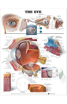 Anatomical Chart Company The Eye Anatomical Chart