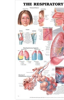 Anatomical Chart Company The Respiratory System Anatomical Chart