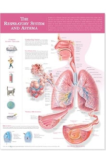 Anatomical Chart Company Respiratory System And Asthma Anatomical Chart