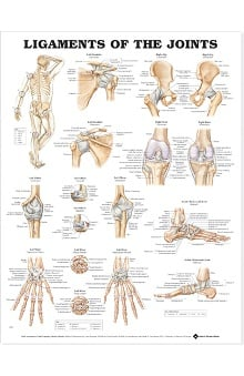 Anatomical Chart Company Ligaments Of The Joints Anatomical Chart