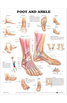 Anatomical Chart Company Foot And Ankle Anatomical Chart