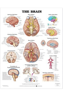 Anatomical Chart Company The Brain Anatomical Chart