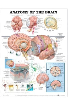 Anatomical Chart Company Anatomy Of The Brain Anatomical Chart