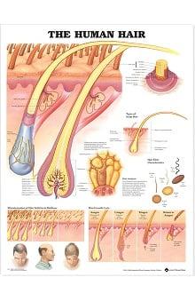 Anatomical Chart Company The Human Hair Anatomical Chart