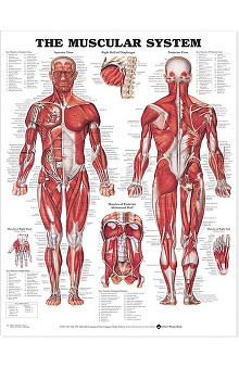 Anatomical Chart Company Muscular System Anatomical Chart