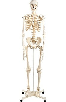 Anatomical Chart Company Articulated Adult Human Skeleton