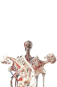 Anatomical Chart Company Plastic Human Adult Superskeleton