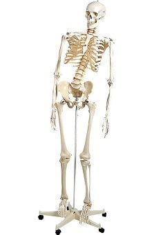 Anatomical Chart Company Plastic Human Adult Skeleton (Flexible)