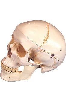 Anatomical Chart Company Plastic Human Skull, Numbered