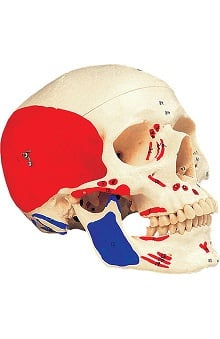 Anatomical Chart Company Plastic Human Skull, Painted
