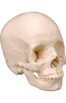 Anatomical Chart Company Anatomical Skull Kit Natural Bone Color