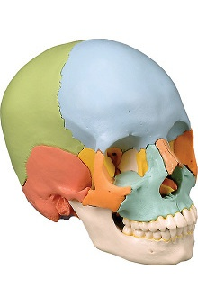 Anatomical Chart Company Didactic Skull Kit Color Coded