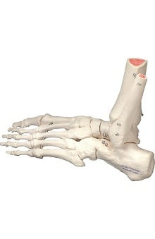Anatomical Chart Company Plastic Left Foot part Model with Portion of Tibia and Fibula
