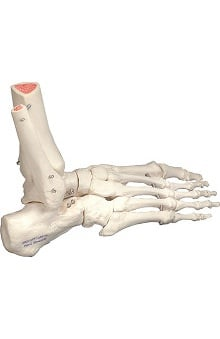 Anatomical Chart Company Plastic Right Foot Part Model with Portion of Tibia and Fibula