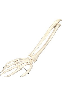 Anatomical Chart Company Plastic Right Hand with Lower Arm