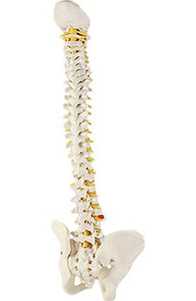 Anatomical Chart Company Male Vertebral Column Anatomical Model