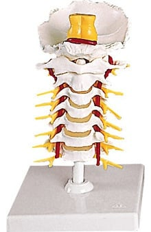 Anatomical Chart Company Flexible Cervical Vertebral Column