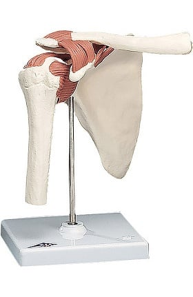 Anatomical Chart Company Functional Life Size Shoulder Joint Model