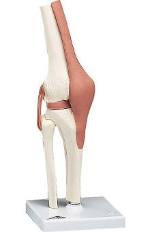 Anatomical Chart Company Functional Life Size Knee Joint Model