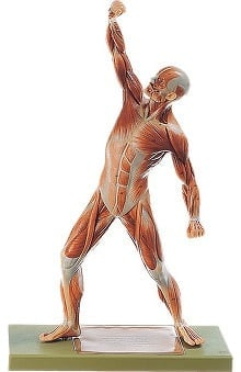 Anatomical Chart Company Male Muscle Figure Model