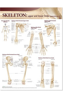 Anatomical Chart Company Atlas Of Anatomy Skeletal Upper And Lower Limbs Anatomical Chart