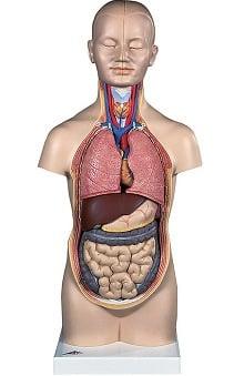 Anatomical Chart Company Human Mini Torso
