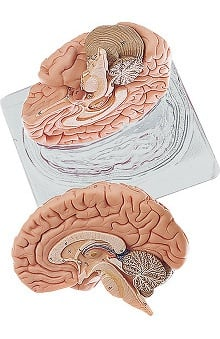 Anatomical Chart Company Two Part Brain