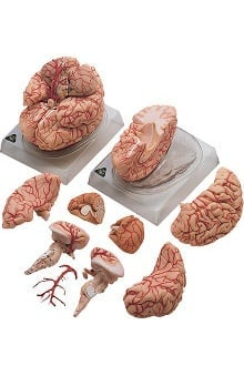 Anatomical Chart Company Brain with Arteries Model