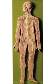 Anatomical Chart Company Peripheral Nervous System