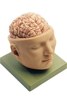 Anatomical Chart Company Base Of Head with Brain Model