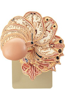 Anatomical Chart Company Section Model Of The Head