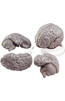 Anatomical Chart Company 3 Part Budget Smart Brain Model