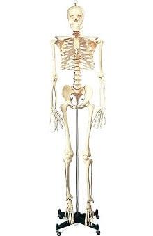 Anatomical Chart Company Budget Bucky Skeleton