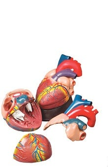 Anatomical Chart Company Budget Jumbo Heart Model