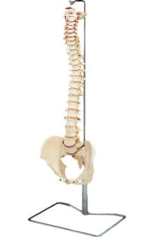 Anatomical Chart Company Budget Vertebral Column with Stand Anatomical Model