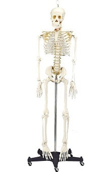 Anatomical Chart Company 3/4 Life Size Budget Bart Skeleton Anatomical Model